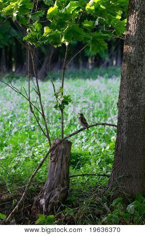nestling of song-thrush