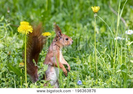Red Squirrel Sitting In Green Fresh Grass With Yellow Flowers
