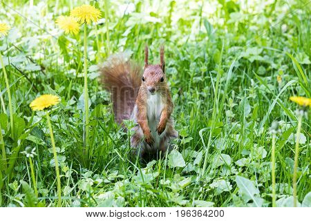 Red Squirrel Standing On Green Fresh Grass With Blooming Yellow Dandelions