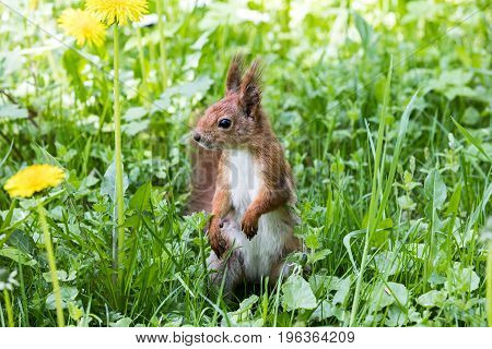 Red Squirrel Standing In Green Grass With Growing Dandelions. Closeup View.