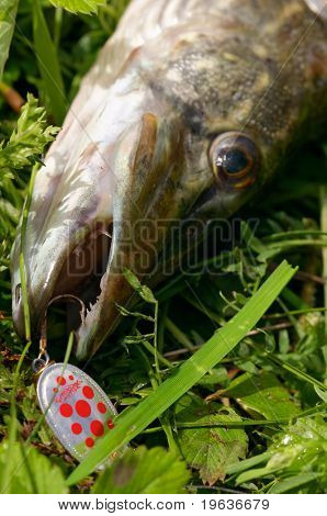 Closeup of pike head on the fish-hook (minnow) poster