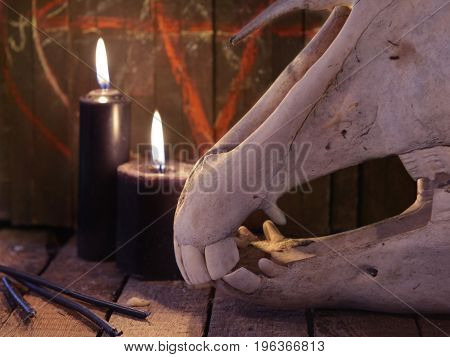 Close up of horse skull teeth and black candles. Mystic still life with scary occult objects, horror Halloween and black magick concept