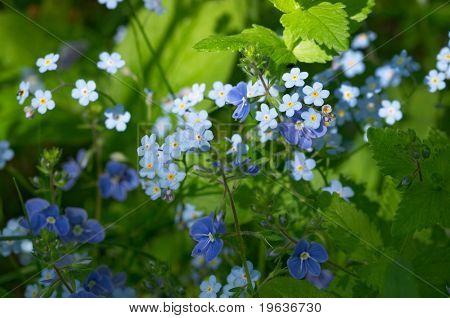 Forget-me-nots (closeup of blue scorpion grass (Myosotis micrantha) )