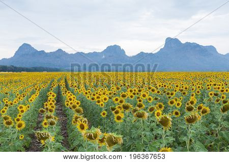 Big sunflower field full bloom condition with mountain background