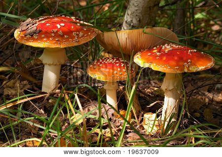 Autumn mushrooms (closeup of fly agaric mushrooms /Amanita muscaria/)