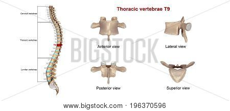 In vertebrates, thoracic vertebrae compose the middle segment of the vertebral column, between the cervical vertebrae and the lumbar vertebrae.