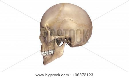 The skull is a bony structure that forms of the head in most vertebrates. It supports the structures of the face and provides a protective cavity for the brain.