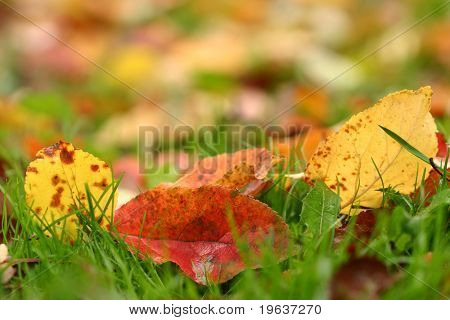 Apple autumn leaves background. Shallow focus depth on front leaves #3