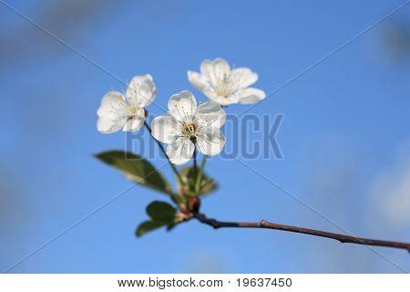 Closeup of cherry blossoms on blue sky