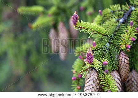 A young branch of spruce with coniferous cones focused on one pink beautiful new cone against the background of old coniferous cones.