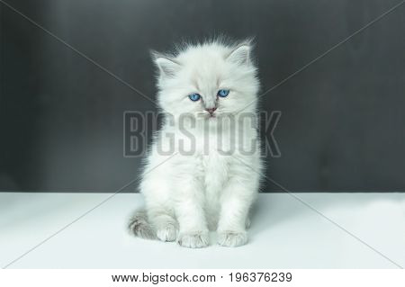 Portrait of white Kitten sitting, 8 weeks old, color point color.