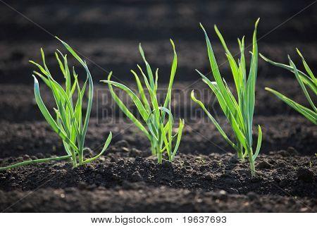 Spring garden plants - garlic, onion