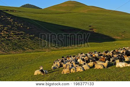 A resting flock of goats Orkhon Valley Mongolia
