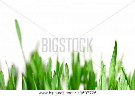 Isolated green grass on white background. Shallow focus depth on front blades of grass