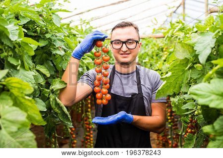 Young Man Farmer With Tomato Cherry Ripe In Hands Shows The Beauty Of Vegetable In Greenhouse