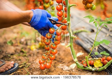 Hands Of Farmer Man Collects Cherry Tomatoes With Scissors Harvest In The Greenhouse Family Business