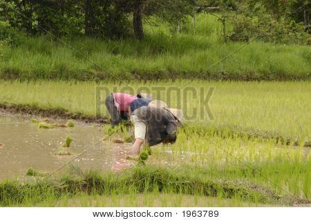 People Working On The Ricefields