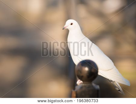 White dove standing and looking.Warm blurred background
