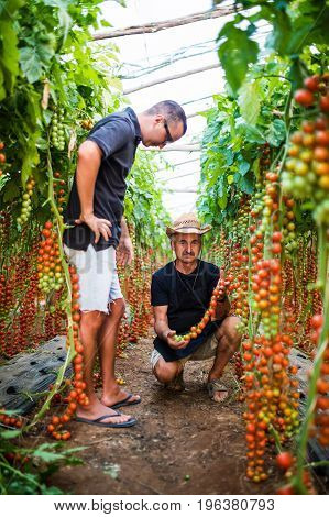 Two Farmers Workers Harvesting  Grown Cherry Tomatoes In Greenhouse