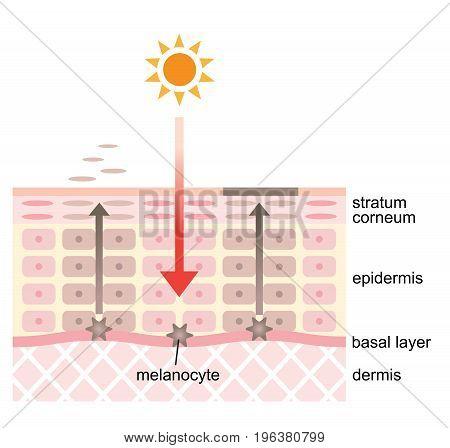 Infographic skin illustration and vector. skin spot mechanism