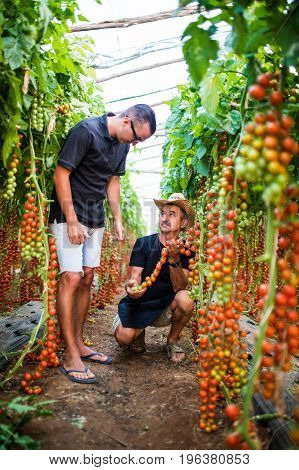 Two Agriculture Workers Checking Harvest Of Cherry Tomato In Greenhouse