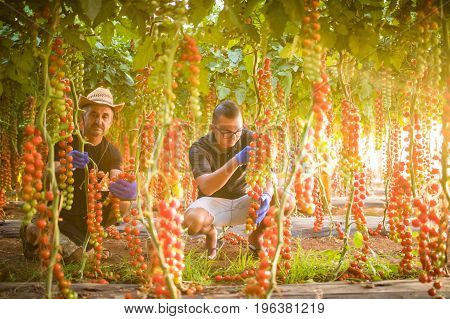 Two Men Agriculture Workers Cheking And Collect Harvest Of Cherry Tomato In Greenhouse