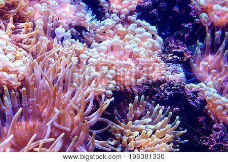 Marine life sea anemone Condylactis gigantea underwater in the Caribbean sea