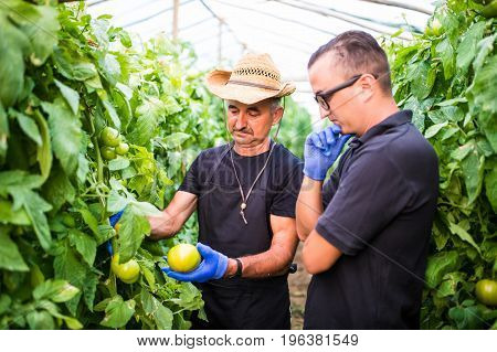 Farm Workers Checking And  Picking Tomato In A Greenhouse