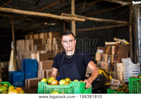 Happy Organic Farmer Carrying Tomatoes In Boxes Before Sales In A Greenhouse