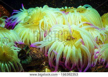 Tiger Anemone Nemanthus annamensis amazing colorful sea creatures. Incredible natural background