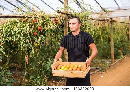 Young Man Farmer Carrying Tomatoes In Wooden Boxes For Sale In A Greenhouse