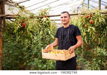 Young Man Farmer Carrying Tomatoes In Hands  In Wooden Boxes In A Greenhouse. Small Agriculture Busi