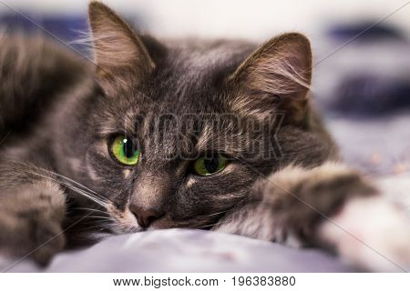 The Face Of The Green Eyes Cat Lying On The Bed