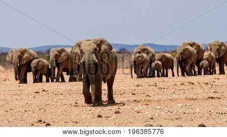Group of thirsty elephants coming to the waterhole