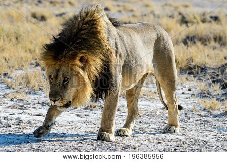 cowardly and submissive male lion approaching with caution