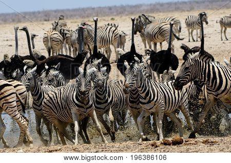Nervy skittish zebra at the waterhole taking flight