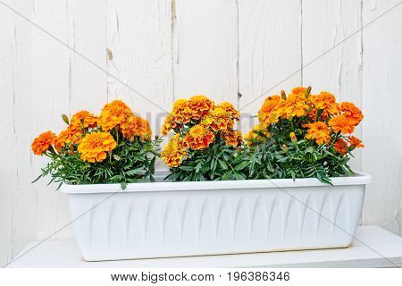 Orange Flowers Grow In A Box In Front Of A White Wall