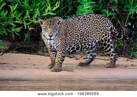 alert scarred male Jaguar on the riverbank of the cuiaba river