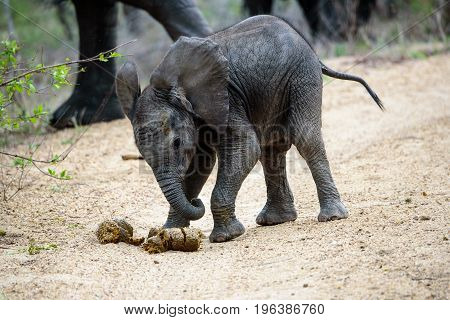 Inquisitive elephant calf playing football with some dung