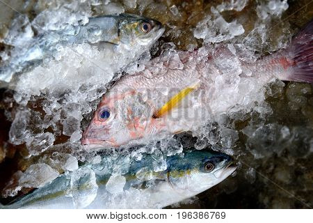 Fresh red snapper fish from fishery market with ice and other fishes.