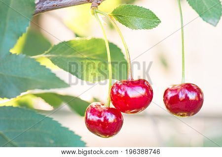 Close-up of cherry fruits ripening on cherry tree among juicy green leaves