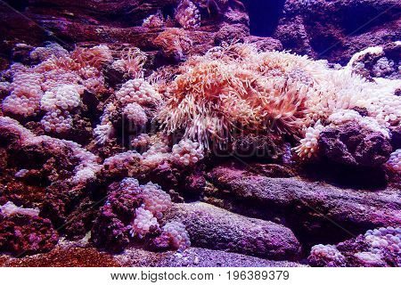 Underwater corals sea anemone wildlife abstract wallpaper. Closeup.