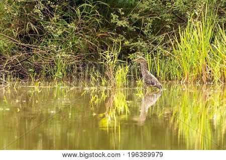 Black-crowned Night Heron Stands On Shallow Of Pond