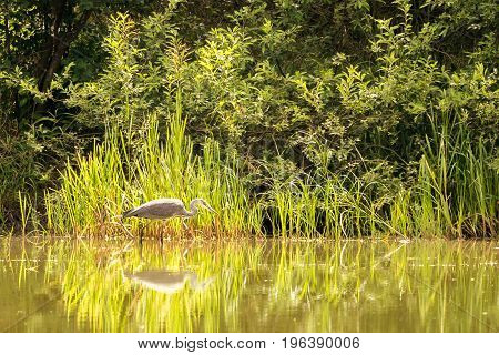 Nice Grey Heron Bird Is Fishing In Shellow Of A Pond