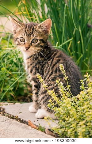 Small Tomcat With Tabby Fur Sits In Herbs Garden