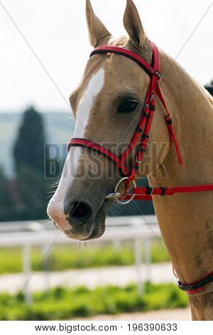 Beautiful akhal-teke horse in the summer day.