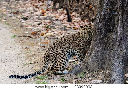 Shy female leopard nestling up to the tree trunk