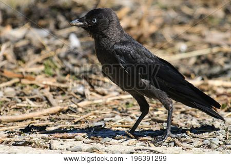 A fledgling Jackdaw standing on the ground among twigs and debris