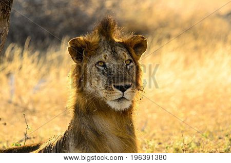 Lion with an unkempt mane on a bad hair day