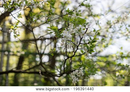Apple Trees Flowers. The Seed-bearing Part Of A Plant, Consisting Of Reproductive Organs Stamens And